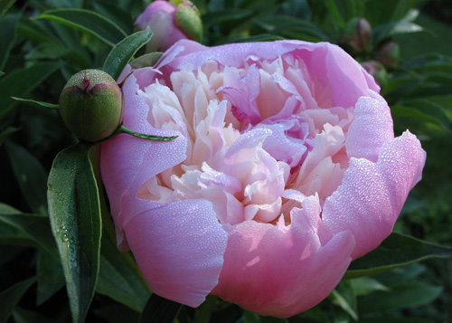 La pivoine, fleur de mai